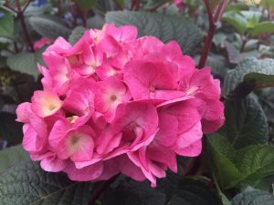 Endless Summer ® Hydrangea macrophylla 'BloomStruck' PBR